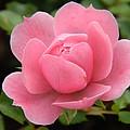 Pink Rose Bloom by Nicki Bennett