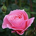 Pink Rose Bud I by Jacqueline Russell