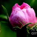 Pink Rose Bud by Kathleen Struckle