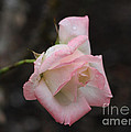 Pink Rose Bud by TN Fairey