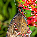 Pink Rose Butterfly by Millard H. Sharp
