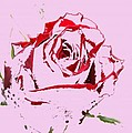 Pink Rose by Carol Lynch