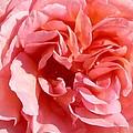Pink Rose Closeup by Anne Cameron Cutri