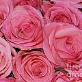 Pink Rose Closeup by HHelene