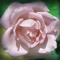 Pink Rose by Deborah Good
