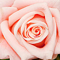 Pink Rose by Don Johnson