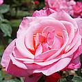 Pink Rose Flower Floral Art Prints Roses by Baslee Troutman