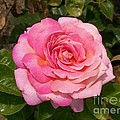 Pink Rose Full Bloom by Laurie Eve Loftin