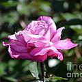 Pink Rose Garden by DejaVu Designs