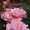 Pink Rose Group I by Jacqueline Russell
