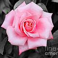 Pink Rose by Jai Johnson