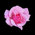 Pink Rose by Judy Whitton