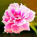 Pink Rose by Kaleidoscopik Photography