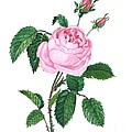 Pink Rose by Margaryta Yermolayeva