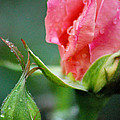 Pink Rose by Nancy Mueller