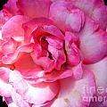 Rose With Touch Of Pink by Nina Ficur Feenan