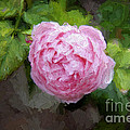 Pink Rose Painterly by Andee Design