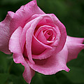 Pink Rose Perfection by Rona Black