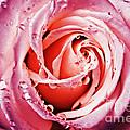 Pink Rose by Rachel Barrett