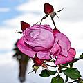 Pink Rose by Rowan Elisa