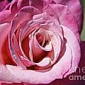 Pink Rose by Sean  Rathbun
