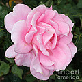 Pink Rose Square by Carol Groenen