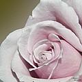 Pink Rose by Teresa Dixon