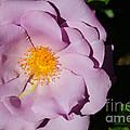 Pink Rose by Tikvah's Hope