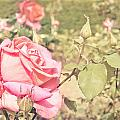 Pink Rose by Tom Gowanlock