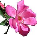 Pink Rose With Bud by Geoffrey McLean