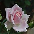 Pink Rosebud by Chris Busch