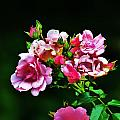 Pink Roses by Chuck  Hicks