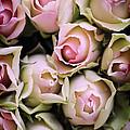 Pink Roses by David Lichtneker