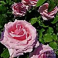 Pink Roses by Dawn Gari