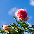Pink Roses - Featured 3 by Alexander Senin