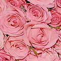 Pink Roses by HHelene