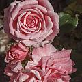 Pink Roses by Jane Luxton
