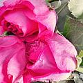 Pink Roses by Lisa Byrne