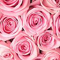 Pink Roses by Munir Alawi