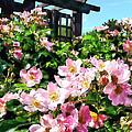 Pink Roses Near Trellis by Susan Savad