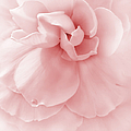 Pink Ruffled Begonia Flower by Jennie Marie Schell