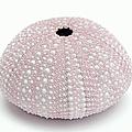Pink Sea Urchin White by Jennie Marie Schell