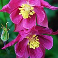 Pink Sensations Columbine by Bruce Bley
