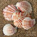 Pink Shells by Bob and Jan Shriner