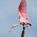 Pink Spoonbill Ready For Takeoff by Bill Swindaman