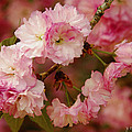 Pink Spring Blossoms by James C Thomas