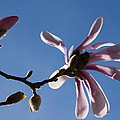Pink Spring - Blue Sky And Magnolia Blossoms by Georgia Mizuleva