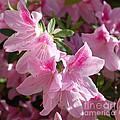 Pink Star Azaleas in Full Bloom