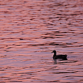 Pink Sunset With Duck In Silhouette by Marianne Campolongo