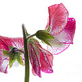 Pink Sweet Pea by Ann Garrett